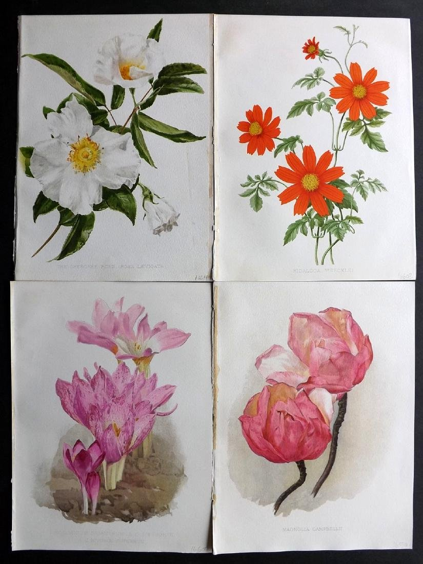 Moon, H. G. 1903 Lot of 4 Antique Botanical Prints