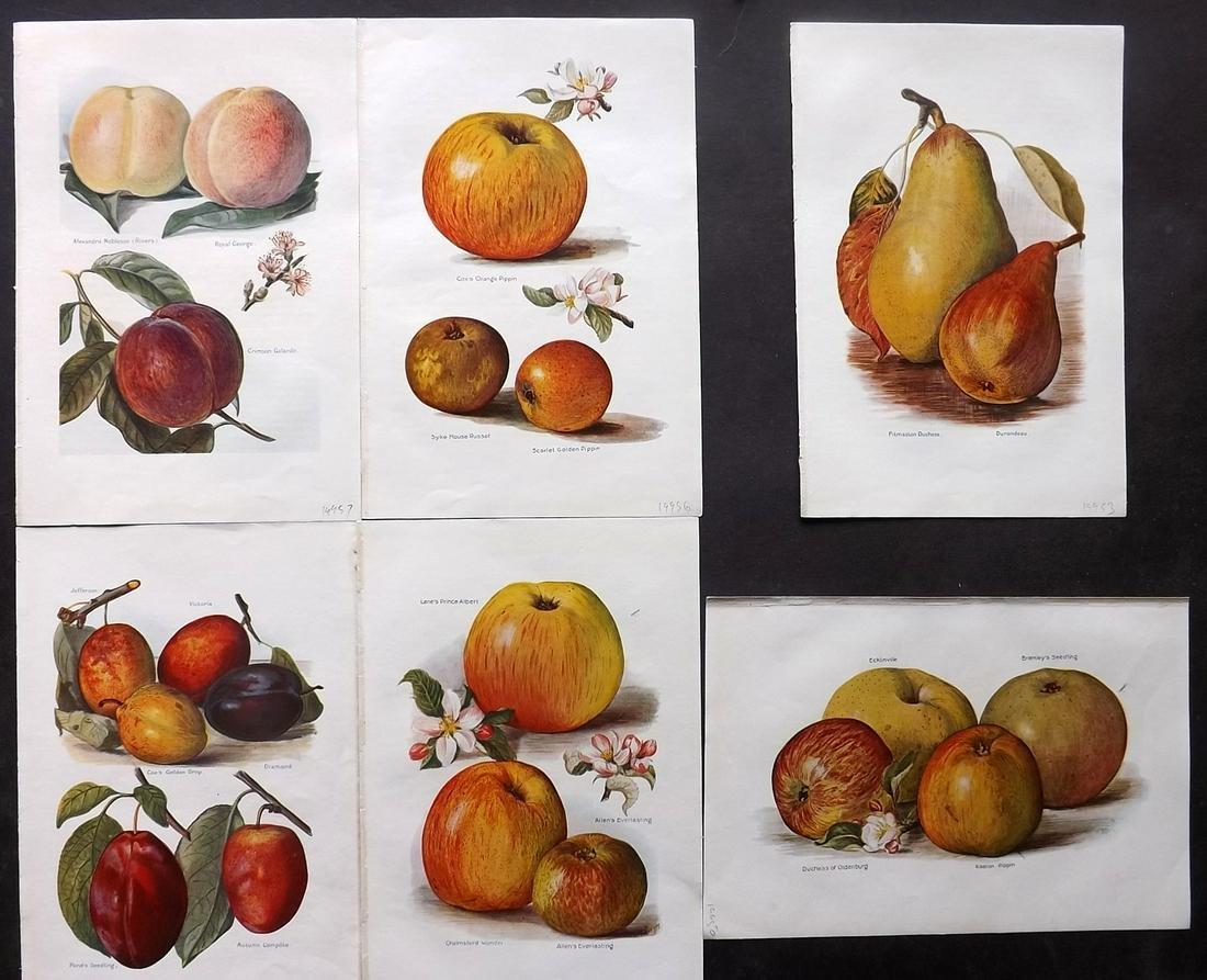 Wright, J & H 1924 Lot of 6 Vintage Fruit Prints