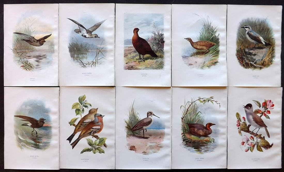 Swaysland, Walter 1901 Lot of 10 Bird Prints
