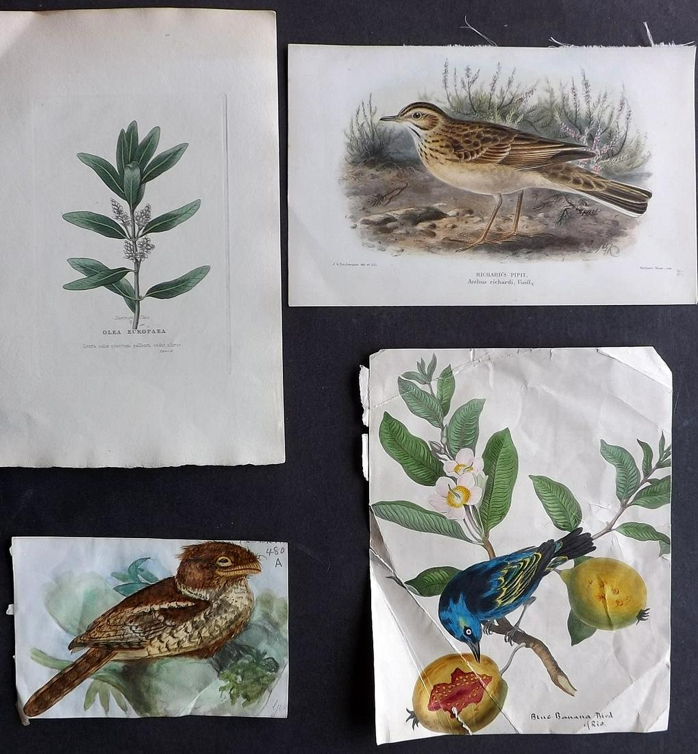 Birds & Botanical 19th Cent. Mixed Lot of 4. Keulemans