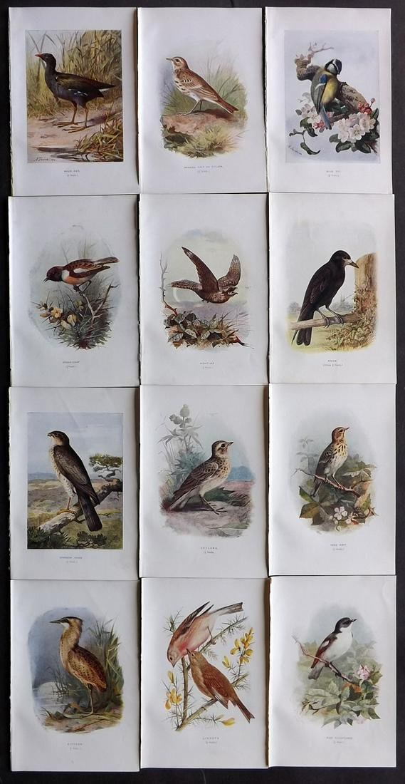 Swaysland, Walter 1901 Lot of 12 Bird Prints