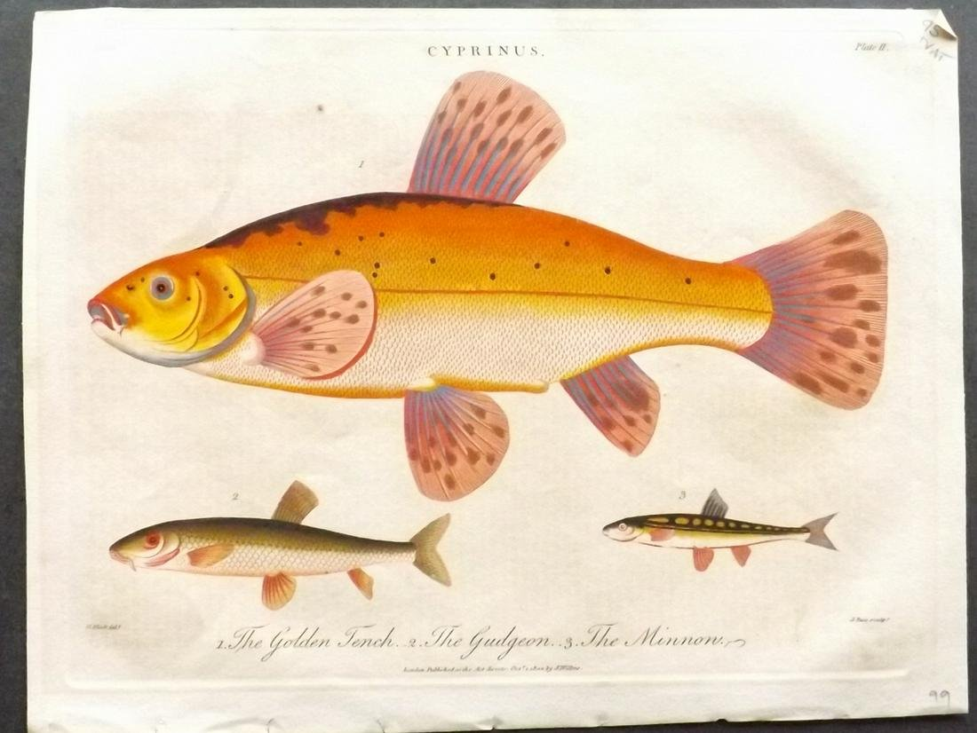 Wilkes, John 1802 Fish Print. Very Fine Hand Colour