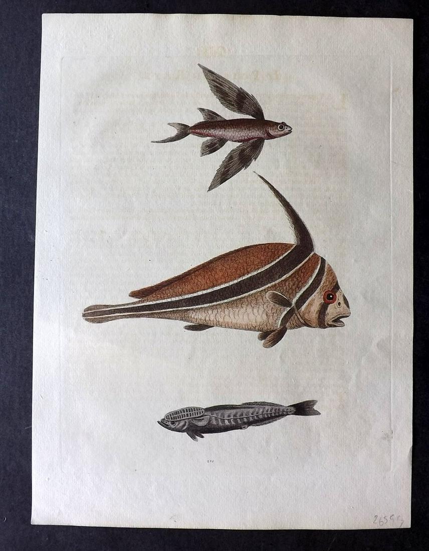 Edwards, George 1751 HC Print. Ribband & Flying Fish