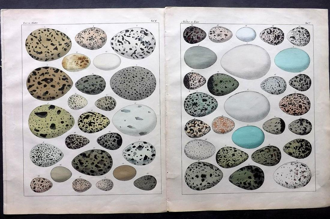 Oken, Lorenz 1843 Pair of HCol Prints. Birds Eggs