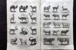 Hall William 1791 pair of Folio Prints Quadrupeds