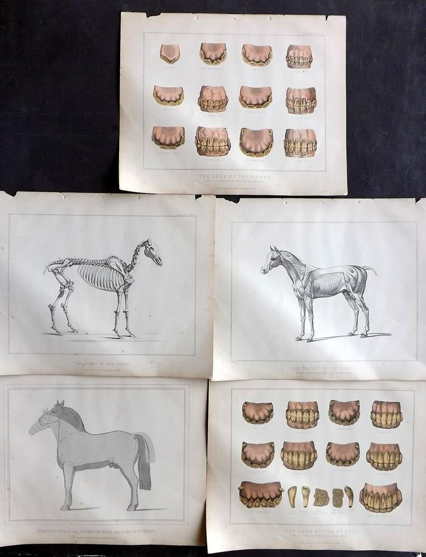 Miles, W. J. C1895 Lot of 5 Prints. Horse Anatomy,