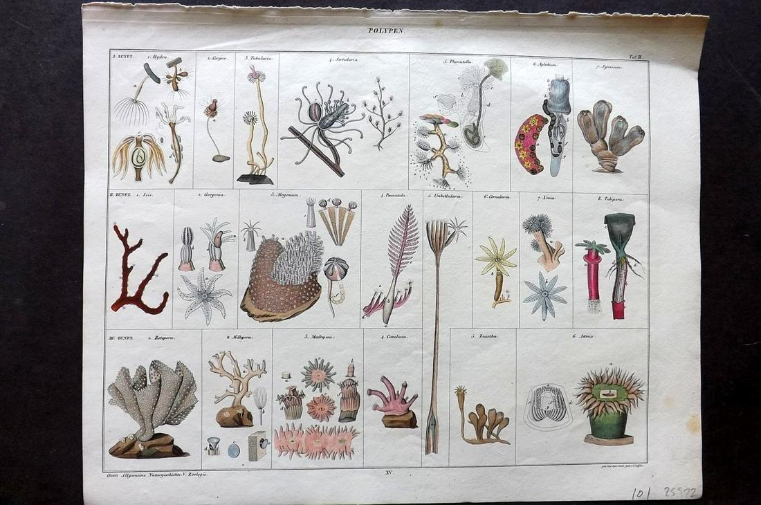 Oken, Lorenz 1843 Hand Colored Print. Corals, Sea Life