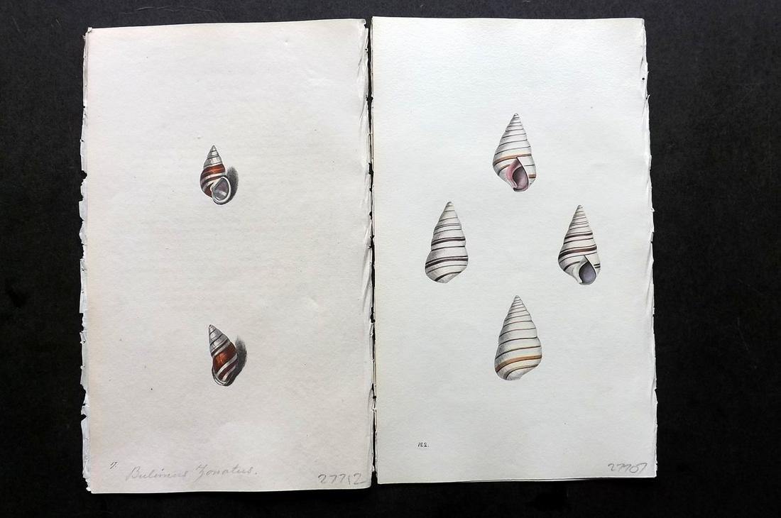 Swainson, William 1820 Pair Hand Col Shell Prints