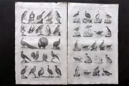 Hall William 1791 Pair of Folio Bird Prints