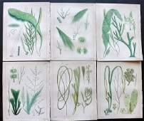 Landsborough David 1851 Lot of 6 HC Seaweed Prints