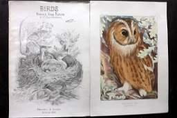 Blackburn, Jemima 1862 Hand Col Bird Print. Tawny Owl