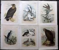 Studer Jacob 1895 Lot of 6 Folio USA Bird Prints
