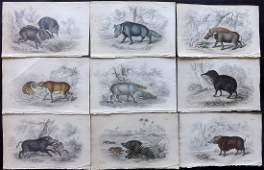 Jardine, William C1840 Lot 9 HC Prints. Hogs Pigs Boar