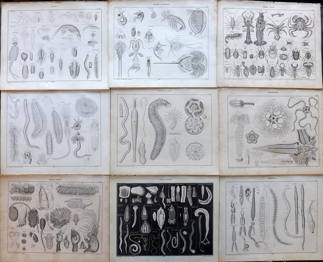Oken, Lorenz 1843 Lot of 9 Prints. Sea Life, Prawn Crab
