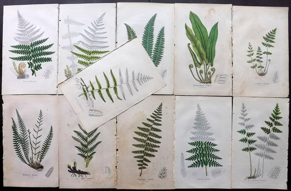 Johnson, Charles 1855 Lot of 11 Hand Col Fern Prints