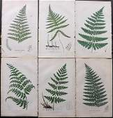 Johnson, Charles 1855 Lot of 6 Hand Col Fern Prints