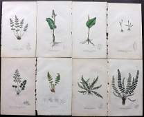 Johnson, Charles 1855 Lot of 8 Hand Col Fern Prints