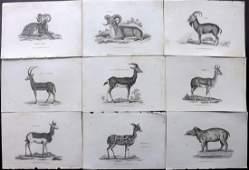 Shaw George C1800s Lot of 9 Prints Ibex Sheep Tapir