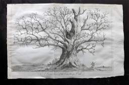 Evelyn John 1801 Folio Print of an Oak Tree