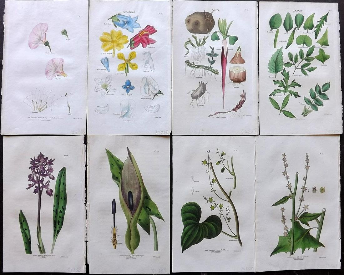 Wakeman (Pub) 1835 Lot of 8 Hand Col Botanical Prints