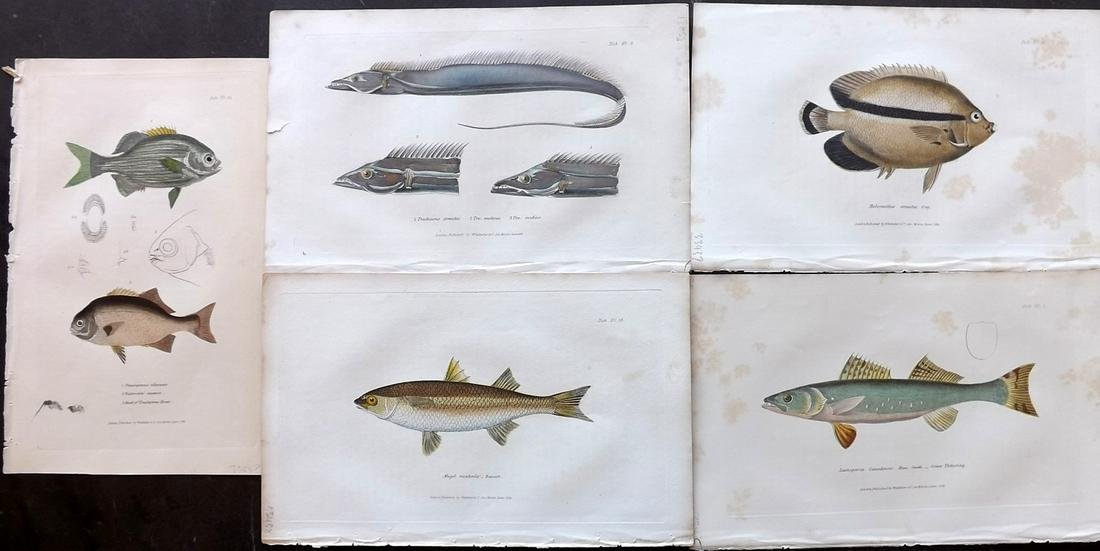 Cuvier, Baron C1830 Lot of 5 Hand Col Fish Prints
