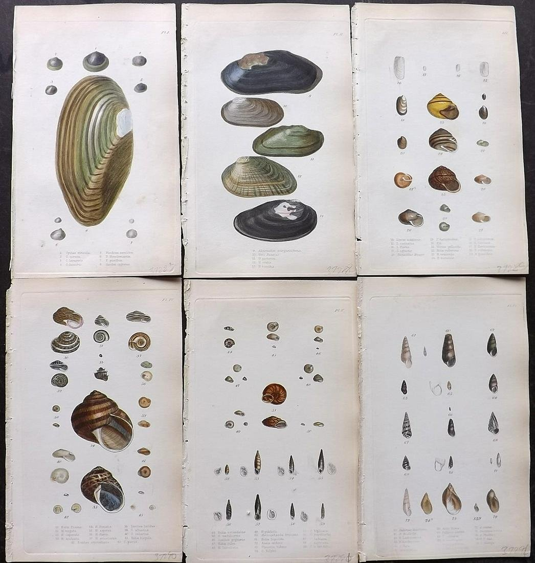 Turton, William 1857 Lot of 6 Hand Colored Shell Prints