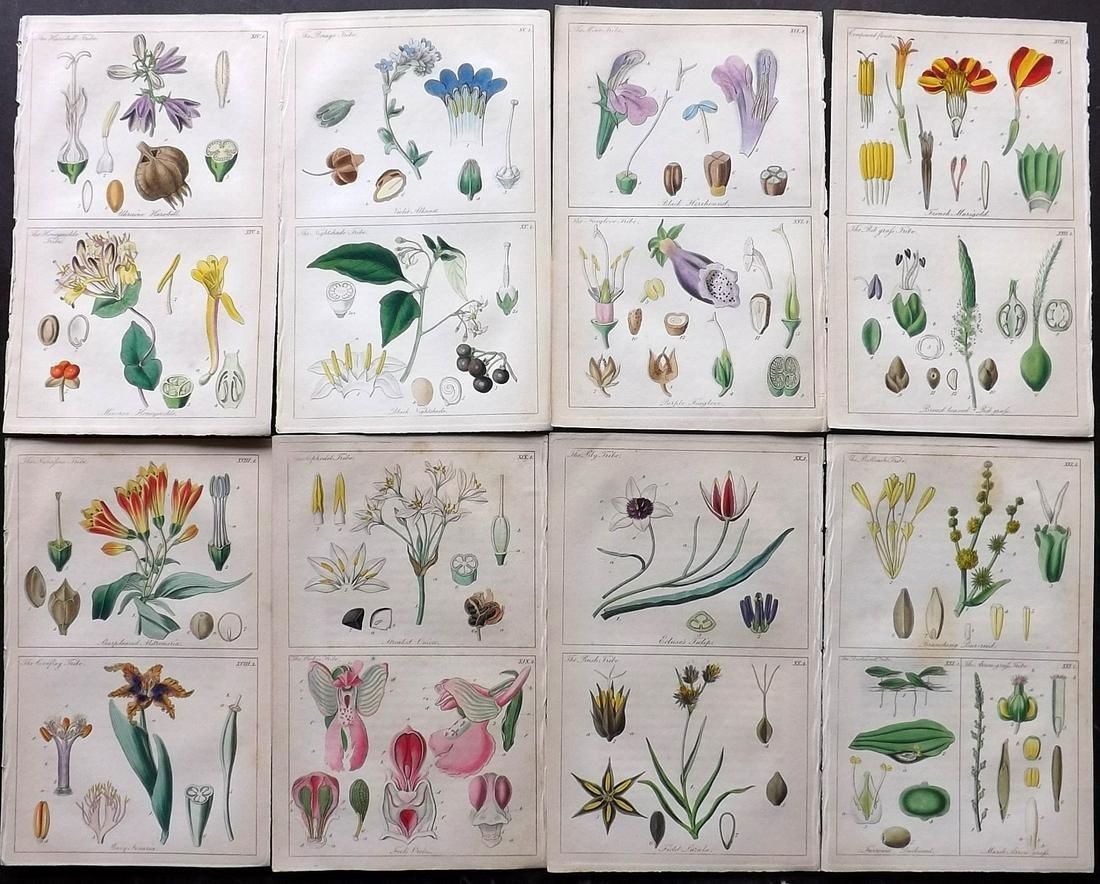 Lindley, John 1848 Lot of 8 Hand Col Botanical Prints