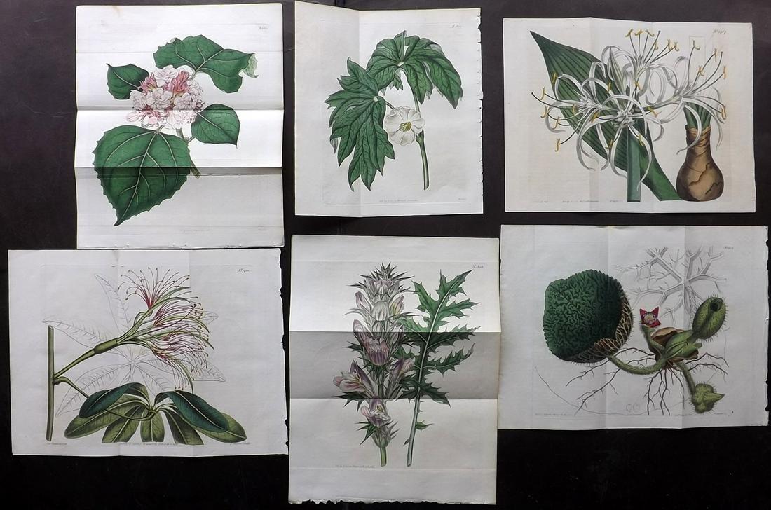 Curtis, William 1811-16 Lot 6 Botanical Prints Doubles