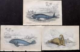 Jardine, William C1840 Lot 3 HC Prints. Walrus Manatus