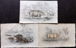 Jardine, William C1840 Lot of 3 Hand Col Prints. Pigs