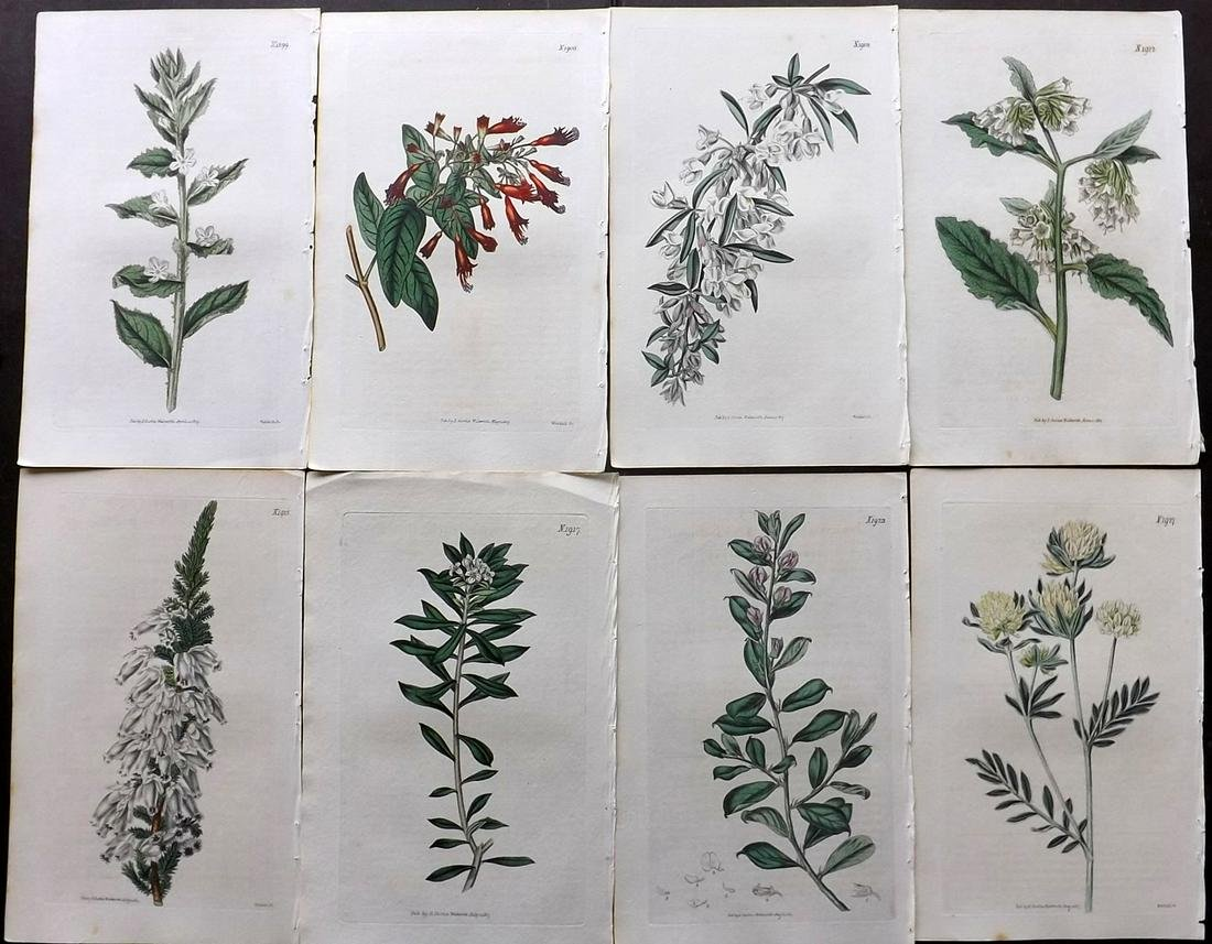 Curtis, William 1817 Lot of 8 HCol Botanical Prints