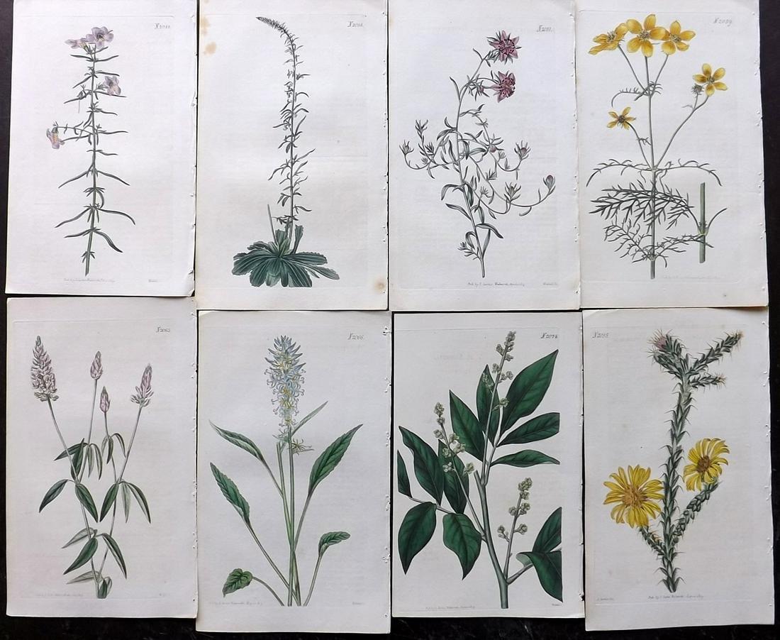 Curtis, William 1819 Lot of 8 HCol Botanical Prints