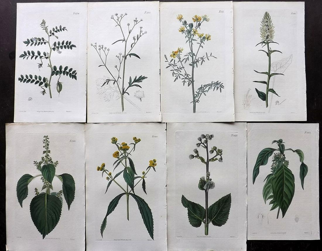 Curtis, William 1822-23 Lot of 8 HCol Botanical Prints