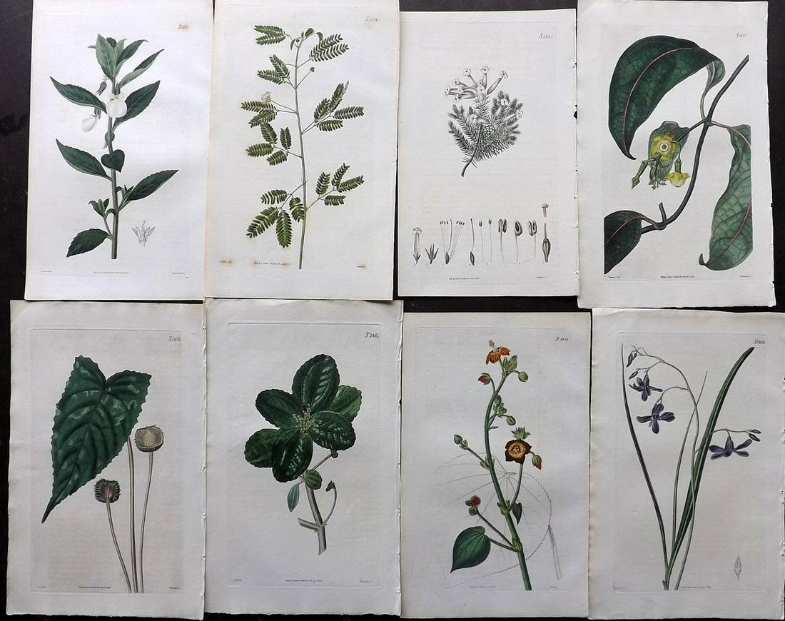 Curtis, William 1823-24 Lot of 8 HCol Botanical Prints