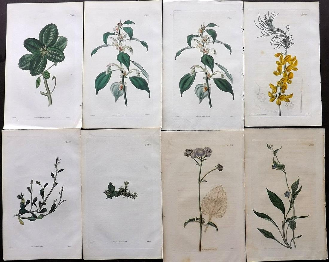 Curtis, William 1824 Lot of 8 HCol Botanical Prints