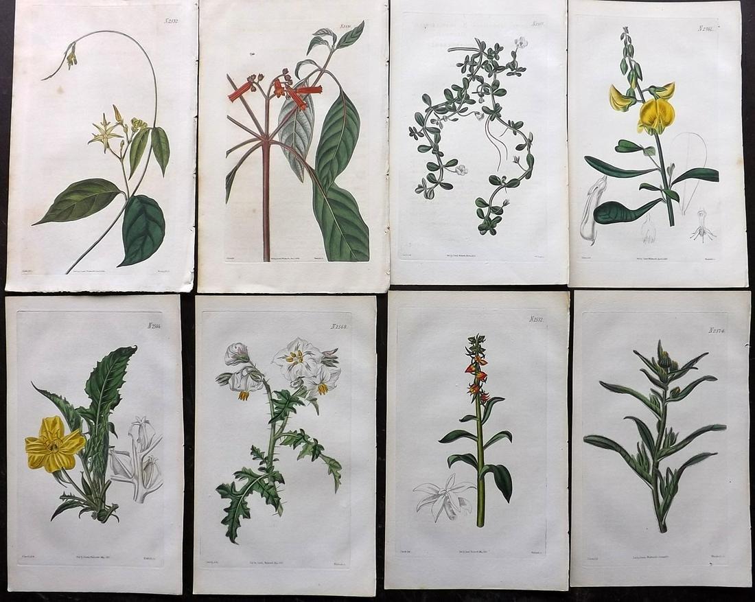 Curtis, William 1824-25 Lot of 8 HCol Botanical Prints