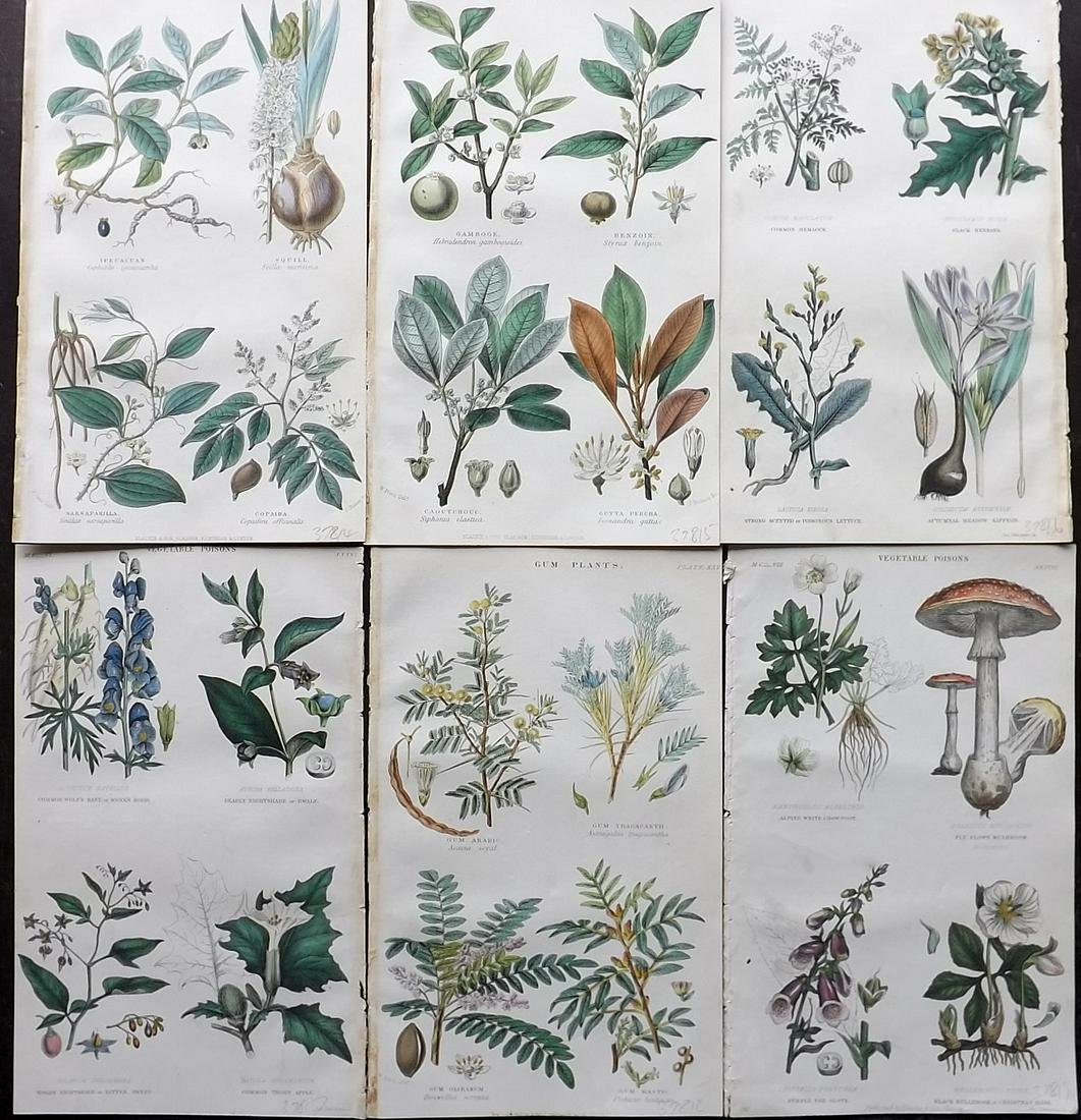 Rhind, William 1870 Lot of 6 Hand Col Botanical Prints