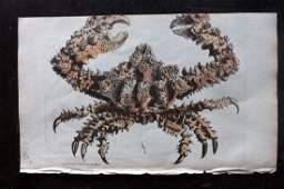 Nodder, Richard 1815 HCol Print. Horrid Parthenope Crab