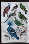 MacGillivray, William 1840 HC Bird Print. Pigeons