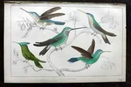 Goldsmith, Oliver C1850 HCol Bird Print. Hummingbirds