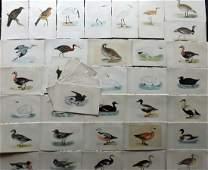 Morris, Francis 1867 Lot of 40 Hand Col Bird Prints