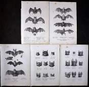 Schinz & Brodtmann 1827 Lot of 5 Folio Bat Prints