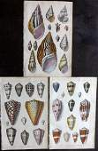 Goldsmith, Oliver C1850 Lot of 3 Hand Col Shell Prints