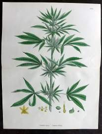 Sowerby, James 1902 Hand Col Print. Cannabis Sativa