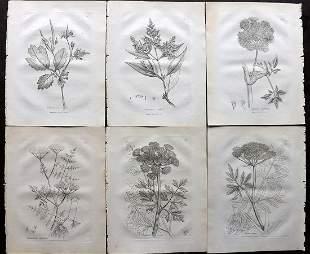 Woodville, William 1794 Lot of 6 Botanical Prints