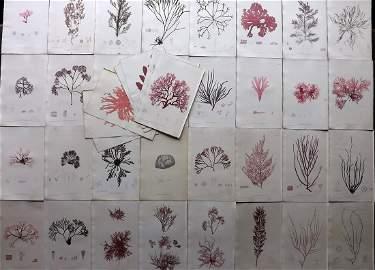 Bradbury, Henry 1859 Lot of 40 Antique Seaweed Prints