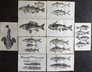 Linnaeus & Bloch 1795 Lot of 10 Antique Fish Prints