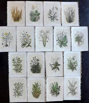 Bicknell, W. I. 1851 Lot of 17 Antique Botanical Prints