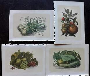 Bicknell, W. I. 1851 Lot of 4 Fruit & Vegetable Prints