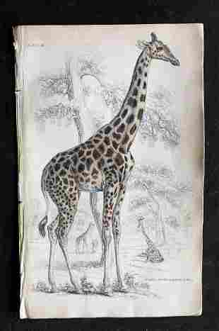 Jardine, William C1840 Hand Colored Print. Giraffe